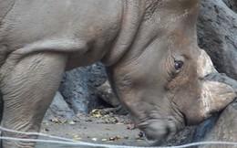 Thực hư hổ ở Thảo Cầm Viên Sài Gòn bị bỏ đói, tê giác bị mài sừng