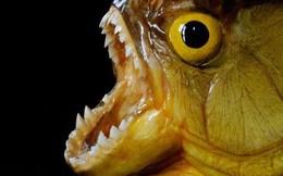 Hãi hùng cảnh tượng thả ếch vào bể nuôi cá Piranha