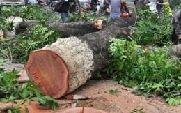 """""""Cấm"""" phát ngôn chặt cây: Đại học Lâm nghiệp nhận sai"""