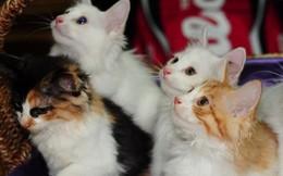 """Phát hoảng với những màn rao bán """"mèo thần tài"""" giá trăm triệu"""