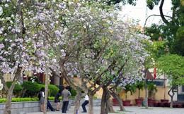 Hà Nội! Đẹp lắm mùa hoa ban!