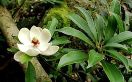 Cây gỗ sẽ trồng thay thế 6.700 cây xanh ở Hà Nội có điều gì đặc biệt?