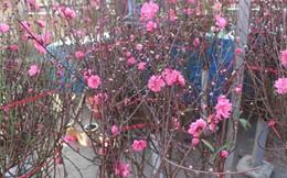 Rực rỡ sắc xuân sớm ở chợ hoa Quảng Bá