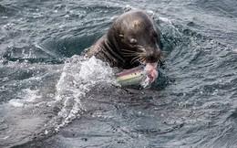 Cận cảnh màn săn cá mập đáng sợ của chú sư tử biển hung dữ