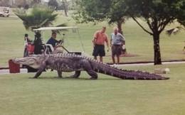 """Kinh hoàng cá sấu """"khủng"""" tung tăng trong sân golf"""