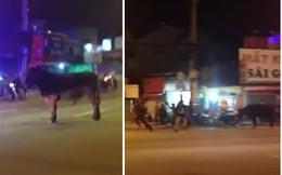 """Hy hữu: Bò """"thả rông"""" đuổi húc người giữa phố Sài Gòn"""