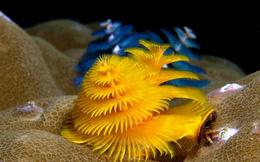 Loài giun biển trông giống cây thông Giáng sinh làm rực sáng đáy đại dương