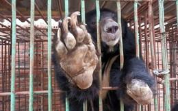 Cận cảnh những trang trại nuôi nhốt khiến gấu chết hàng loạt ở Quảng Ninh