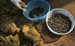 Cận cảnh quy trình chế biến cà phê từ...phân voi