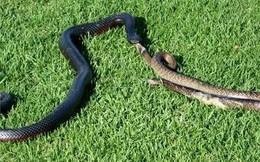 """Hổ mang đen Châu Phi thong dong nuốt chửng con rắn """"xinh đẹp"""""""