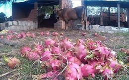 Xót xa cảnh đặc sản giá 2.000 đồng/kg, đổ cho bò ăn