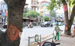 Hà Nội: Những vết thương lạ trên hàng cây xà cừ ở đường Lê Duẩn