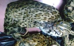 6 con mèo rừng quý ướp lạnh bị bắt trên đường tiêu thụ