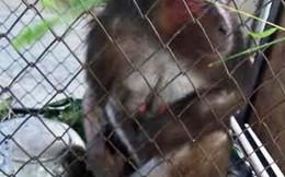 Quảng Bình: Người dân tự nguyện giao nộp khỉ mặt đỏ quý hiếm