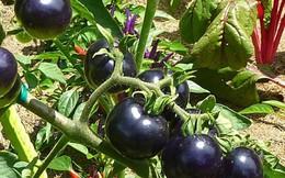 Cà chua đen Đà Lạt cháy hàng, người trồng trúng lớn