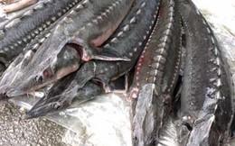 Cá tầm dài hơn 1m, to như cột nhà ở Sơn La