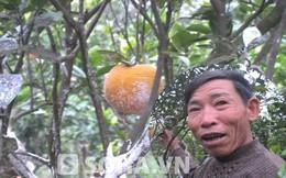 """Loại cam """"ngự"""" trên cây 12 tháng, người trồng chẳng dám ăn"""