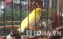 """Cận cảnh những chú chim """"siêu độc"""" của """"ông vua chim màu VN"""""""