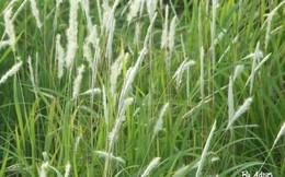 Chữa viêm thận hiệu quả không ngờ từ loại cỏ mọc hoang dễ kiếm