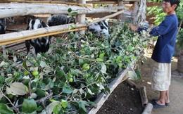 Giá táo ngon còn 1.000 đồng/kg, dân chặt cho bò ăn