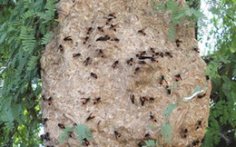 Suýt chết vì bị ong vò vẽ đốt 50 mũi