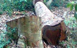 """Vào cả khu bảo tồn chặt trộm cây sa mu dầu quý """"khủng"""""""