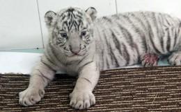 Hổ trắng quý hiểm đẻ con ở Thảo cầm viên Sài Gòn