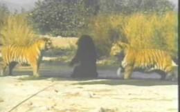 """Bị bắt nạt quá đà, gấu đen 1 mình chiến 2 """"chúa sơn lâm"""""""