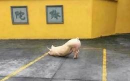 Kỳ lạ chú lợn quỳ trước cửa chùa hàng tiếng nghe kinh