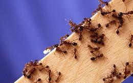 Mẹo đuổi kiến diệt kiến tận gốc không cần xịt thuốc