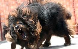 Ngao Tây Tạng với Pitbull, loài nào mới là mạnh nhất?