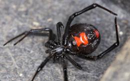 Rùng mình trước 10 loài nhện đáng sợ nhất thế giới