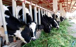 Hoàng Anh Gia Lai đầu tư thêm dự án nuôi bò lớn tại Hà Tĩnh