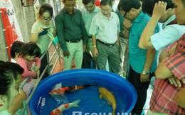 Ngỡ ngàng cuộc thi sắc đẹp cá Koi tại TP.HCM