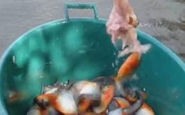 Câu cả chậu cá Piranha chỉ bằng... 1 miếng thịt