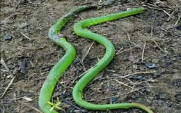 Hoảng hốt phát hiện 2 con rắn đuôi đỏ bò vào nhà
