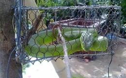 Thiếu nữ đập chết 2 con rắn lục đuôi đỏ trong vòng 15 phút