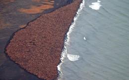 Bức ảnh phải biết trong ngày: hàng ngàn con hải mã đang mắc kẹt tại bờ biển Mỹ