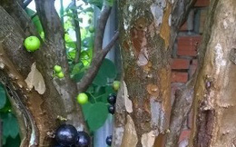 Cây nho đen thân gỗ thu hút khách hàng