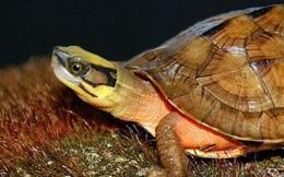 """Người dân """"phát sốt"""" vì rùa vàng giá 350 triệu tại Hà Tĩnh"""