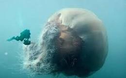 Cá voi xanh cũng chẳng dài bằng một con sứa
