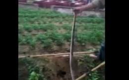 Clip bắt 2 con rắn hổ mang nặng 1kg bằng kích điện