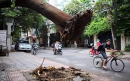 """Hình ảnh khó tin về cây lớn bị """"nhấc bổng"""" ở Hà Nội"""
