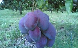 """""""Phát sốt"""" với những loại trái cây màu lạ, giá cao xuất hiện ở VN"""