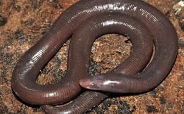 Xuất hiện loài động vật mới: Thân hình giống như giun đất và dài như rắn