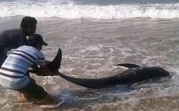 Hiên tượng lạ trên biển Thừa Thiên - Huế: Cá voi nhỏ chết trôi dạt vào bờ biển