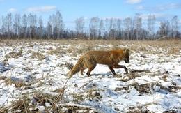 Vén màn bí mật giúp động vật sống sót sau thảm họa Chernobyl