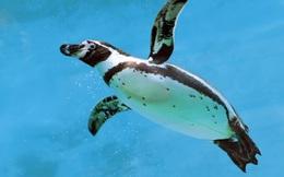 Đây là lý do vì sao dù sống ở Nam Cực siêu lạnh, lông chim cánh cụt không hề đóng băng