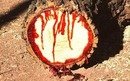 """Kỳ lạ loài cây biết """"khóc ra máu"""" khi bị đốn chặt"""