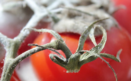 """Cà chua thối: Nguồn điện """"rẻ như bèo"""" ít ai ngờ!"""